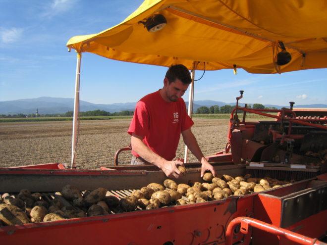 Récolte des pommes de terre sur champ